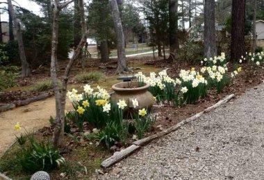 Daffodils along driveway