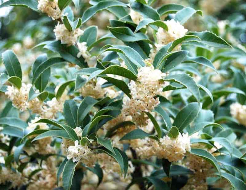 Fortune's Tea Olive