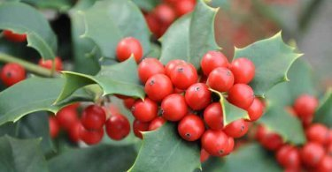 Carolina holly