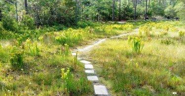 Stanley Rehder Carnivorous Garden