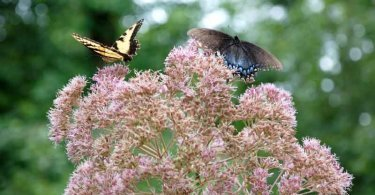 Hollow-stem Joe Pye weed