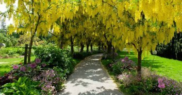 The Laburnum Walk at the VanDusen Botanical Garden / Jennifer Cooper