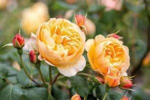David Austin rose 'Roald Dahl'