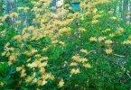 Rhododendronaustrinum