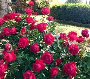 Rosa The Grand Champion