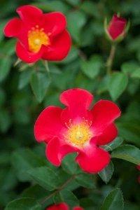 Rosa Easy Elegance