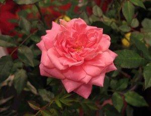 Sunrosa Fragrant Pink