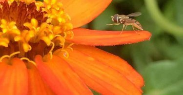 Syrphid fly on a zinnia