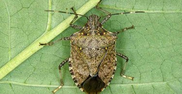 brown marmorated stink bug adult