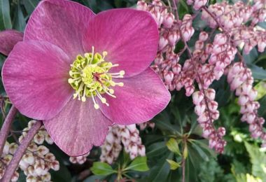 Hellebore and Pieris