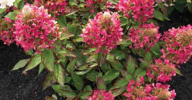 hydrangea paniculata