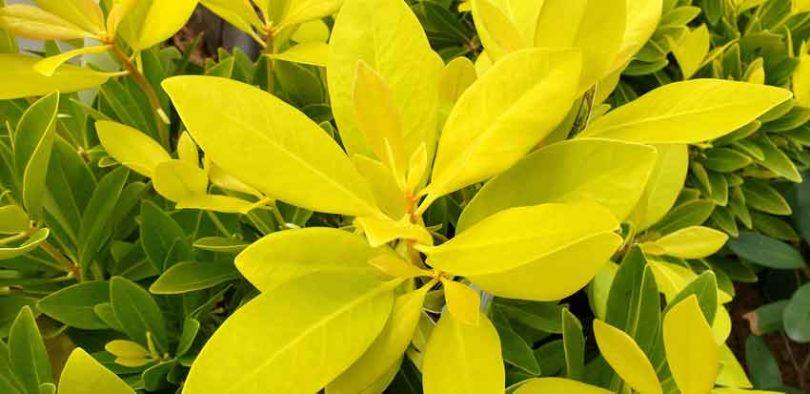 Anise shrub