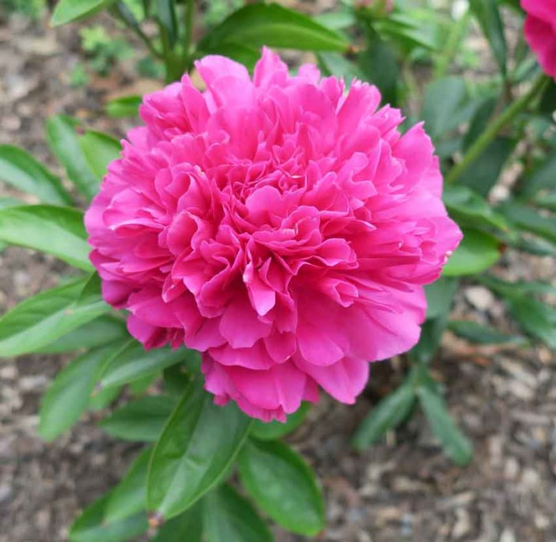 Growing Peonies In The South Triangle Gardener Magazine