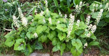 Foamflower (tiarella)