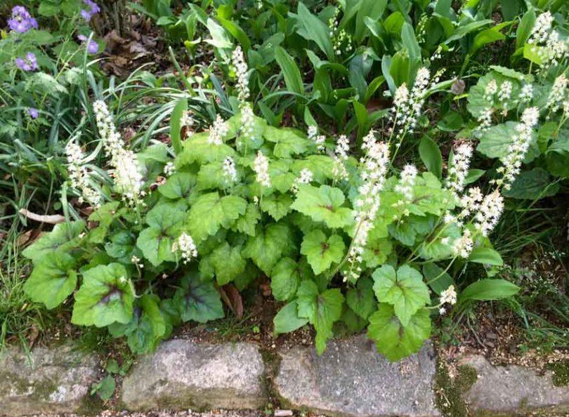 Foamflower (tiarella)