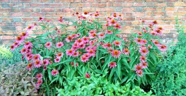 Brick wall creates a microclimate for this Echinacea