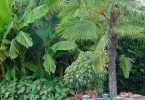 Banana tree with Windmill Palm