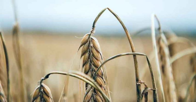 Rye affected by Ergot fungus