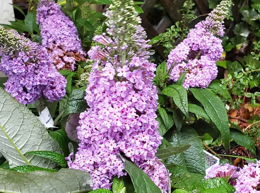 Long blooming butterfly bush
