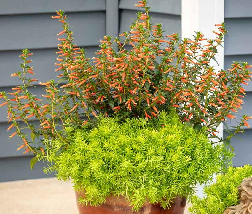 Hummingbird plant Cuphea