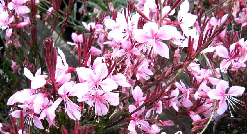 Hummingbird plant Gaura