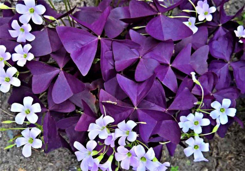 Invasive purple oaxalis