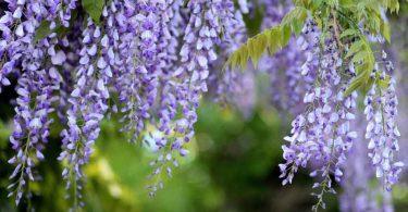 invasive wisteria